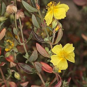 Helianthemum hirtum (L.) Mill.