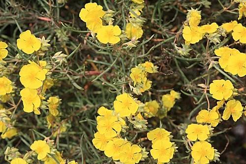 Helianthemum syriacum (Jacq.) Dum.- Cours.