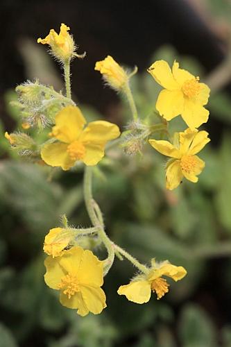 Helianthemum viscidulum subsp. raynaudii (Ortega Oliv., Romero García & C. Morales) G. López