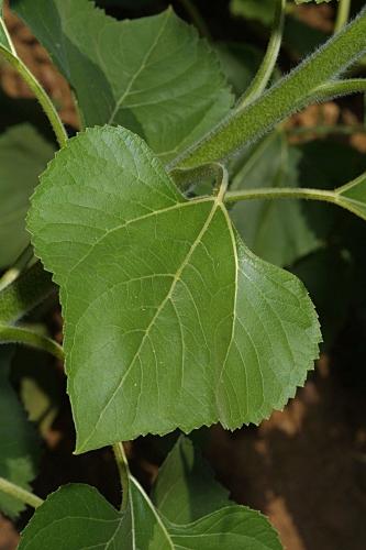 Helianthus annuus L.