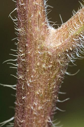 Helianthus tuberosus L.