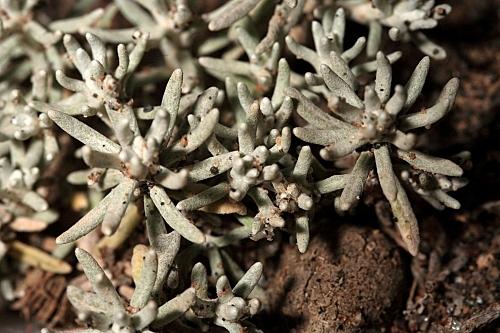 Helichrysum decumbens DC.