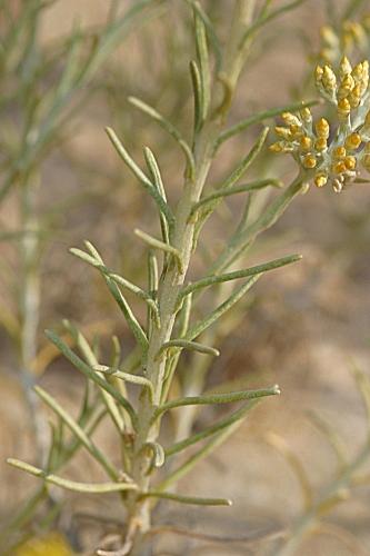 Helichrysum italicum (Roth) G. Don fil.
