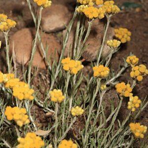 Helichrysum maritimum Less.