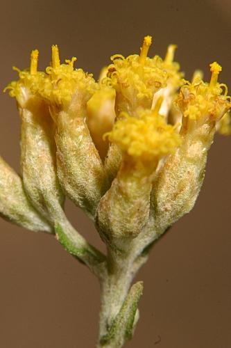 Helichrysum picardii Boiss. & Reut.