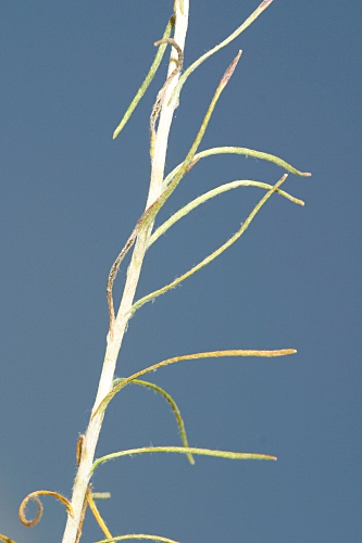 Helichrysum stoechas (L.) Moench