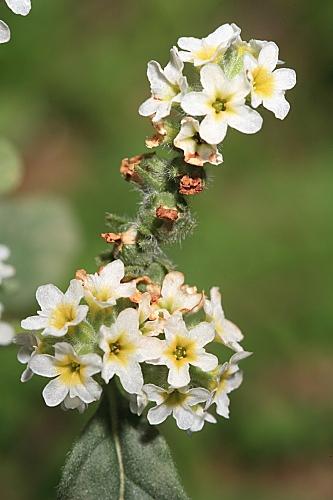 Heliotropium europaeum L.