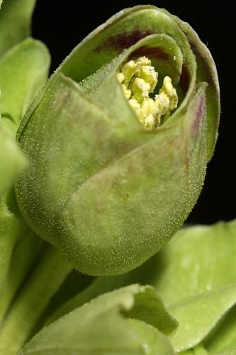 Helleborus foetidus L.