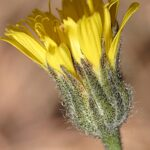 Hieracium baeticum Arv.-Touv. & Reverchon