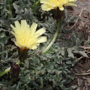 Hieracium castellanum Boiss. & Reut.