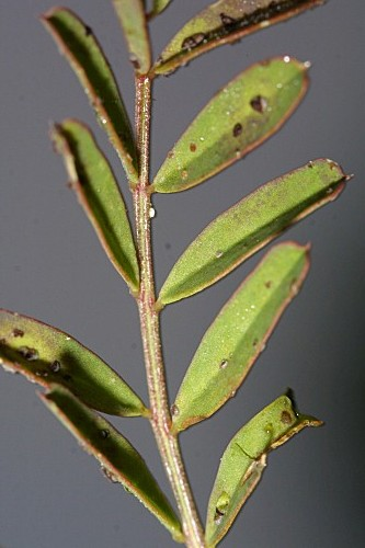 Hippocrepis ciliata 0003