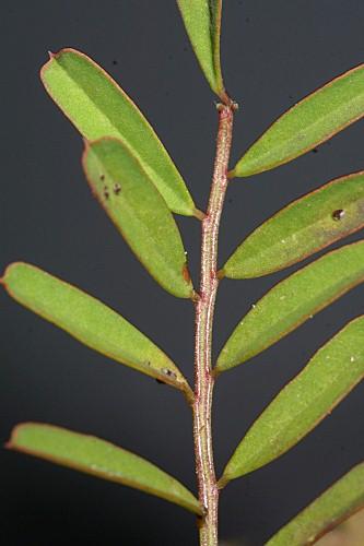 Hippocrepis ciliata 0004