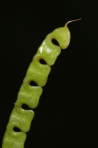 Hippocrepis ciliata 0005