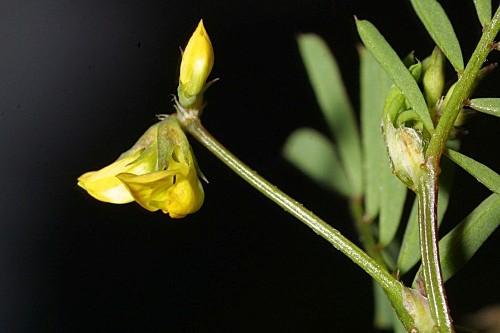 Hippocrepis ciliata 0006