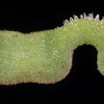 Hippocrepis ciliata 11