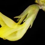 Hippocrepis ciliata 4