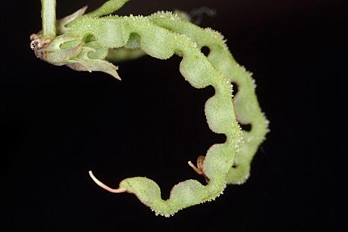 Hippocrepis ciliata 5
