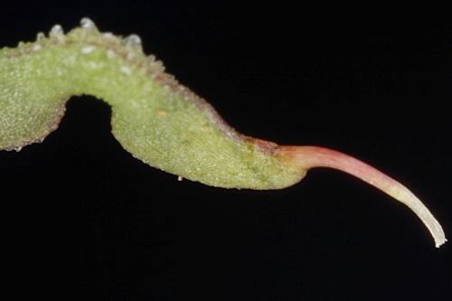 Hippocrepis ciliata 7