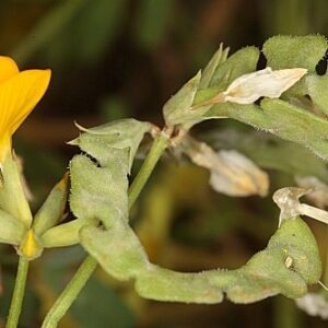 Hippocrepis salzmannii Boiss. & Reut.