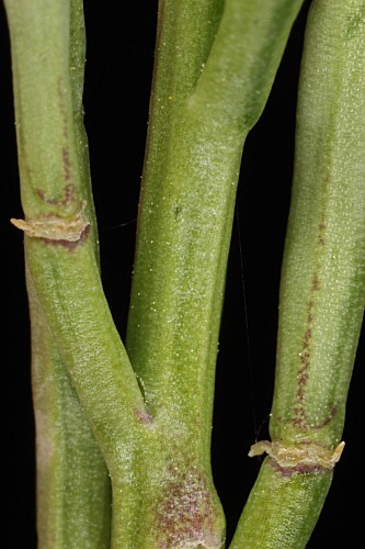 Hirschfeldia incana (L.) Lagr.–Foss.