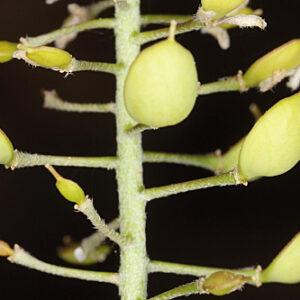 Hormathophylla baetica P. Küpfer
