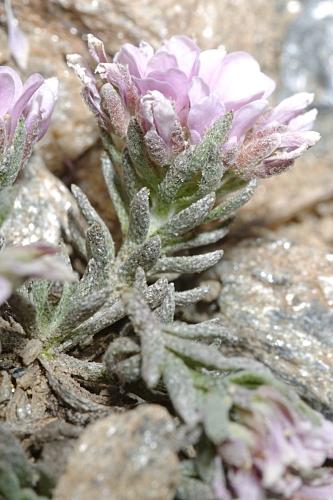 Hormathophylla purpurea (Lag. & Rodr.) P. Küpfer