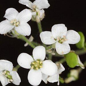 Hormathophylla reverchonii (Degen & Hervier) Cullen & T.R. Dudley