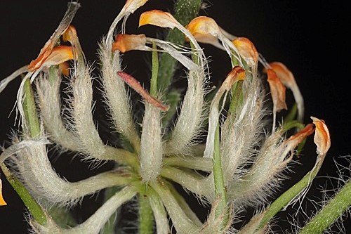 Hymenocarpos hamosus (Desf.) Vis.