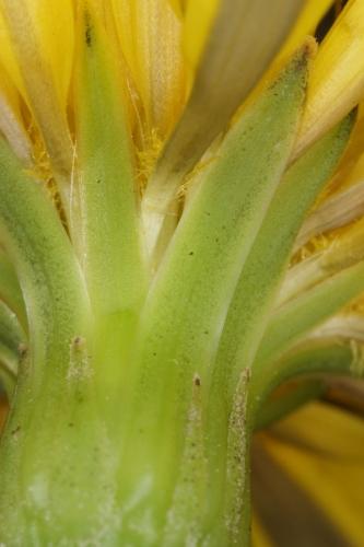 Hyoseris radiata L.