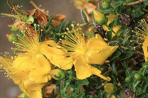 Hypericum balearicum L.