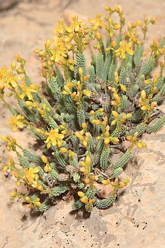 Hypericum robertii Coss. ex Batt.