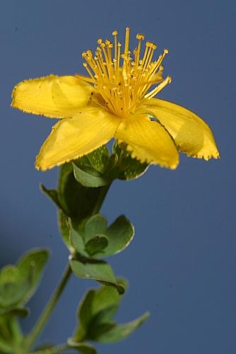 Hypericum undulatum Schousb. ex Willd.