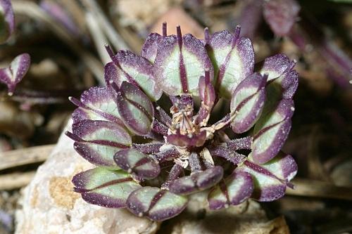 Iberis carnosa subsp. granatensis (Moreno) Boiss. & Reut.