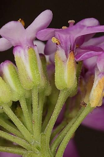 Iberis ciliata subsp. welwitschii (Boiss.) Moreno