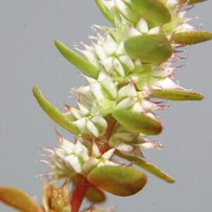 Illecebrum verticillatum L.