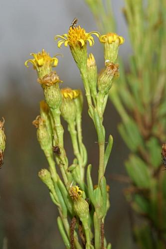 Inula crithmoides L.