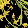 Isatis tinctoria subsp. tinctoria L.
