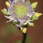 Jasione crispa subsp. tomentosa (A. DC.) Rivas Mart.