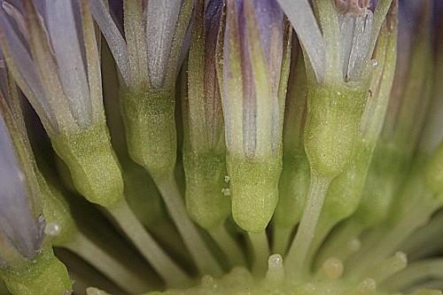 Jasione montana subsp. blepharodom (Boiss. & Reut.) Rivas Mart.