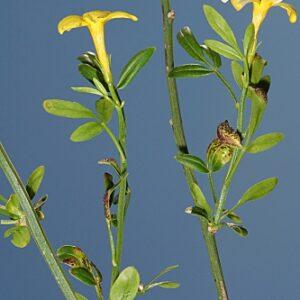 Jasminum fruticans L.