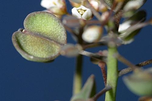 Jonopsidium prolongoi (Boiss.) Batt.