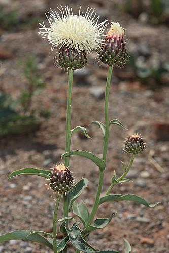 Klasea flavescens subsp. flavescens (L.) Holub