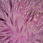 Klasea flavescens subsp. mucronata (Desf.) Cantó & Rivas Mart.