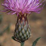 Klasea pinnatifida (Cav.) Cass.