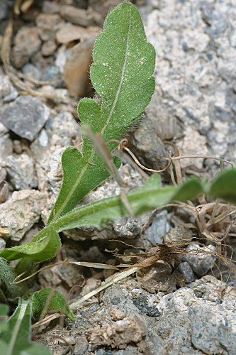 Knautia subscaposa Boiss. & Reut.