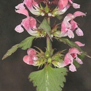 Lamium maculatum L.