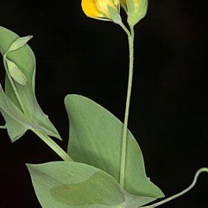 Lathyrus aphaca L.