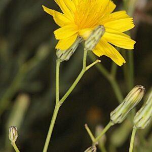 Launaea lanifera Pau