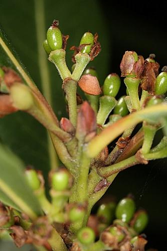 Laurus nobilis L.