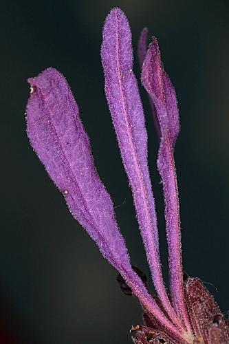 Lavandula pedunculata (Mill.) Cav.